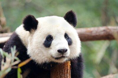 Canvastavlor Giant Panda - Sad, trött, uttråkad ser Pose. Chengdu, Kina