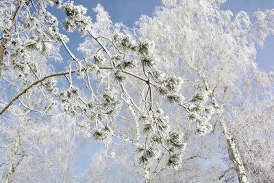 Canvastavlor Gran trädgren på vintern skog