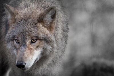 Canvastavlor Grauer Wolf stående 4