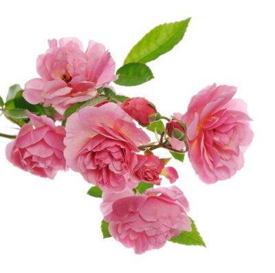 Canvastavlor gren av rosa klätterros