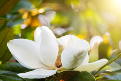 Canvastavlor Gren med en blomma av en vit magnolia närbild