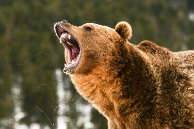 Canvastavlor Grizzly björn