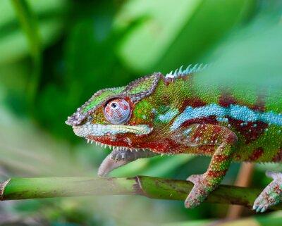 Canvastavlor grön kameleont