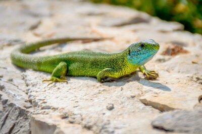 Canvastavlor Grön smaragd geckoödla sola på en klippa