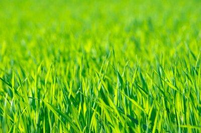 Canvastavlor Grönt gräs