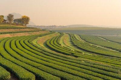 Canvastavlor Grönt te gård mönster på morgonen