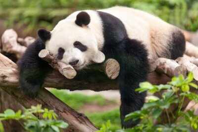 Canvastavlor Grosser Panda