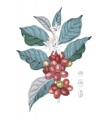 Canvastavlor Hand drawn illustration of Coffee branch with seeds, fruits and flowers. Sketched coffee plant