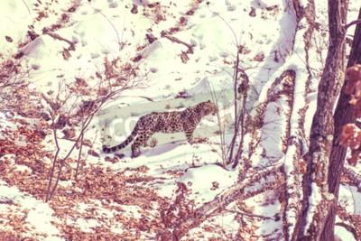 Canvastavlor havet Leopard, aggressiva djur går på snöig mark, stora vackra randiga Leopard. Vinter