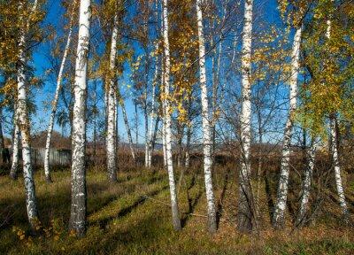 Canvastavlor höst landskap med björkar