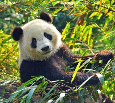 Canvastavlor Hungrig jätte pandabjörn som äter bambu