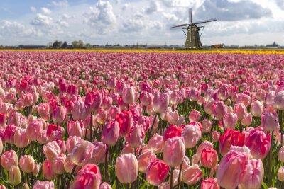 Canvastavlor Ikoniska holländska tulpan glödlampa gård på våren i Amsterdam