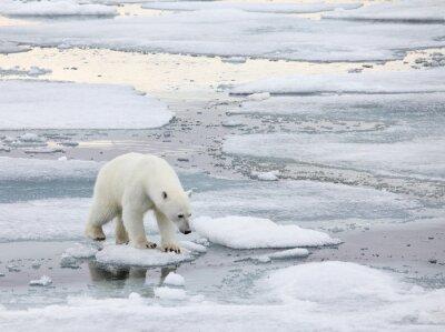 Canvastavlor Isbjörn i naturlig miljö