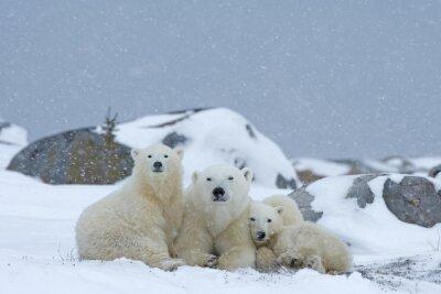 Canvastavlor Isbjörn med ungar