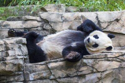 Canvastavlor Jätte pandabjörn tupplur vid National Zoo i Washington, DC.