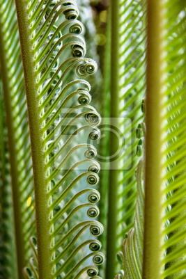 Canvastavlor jeune Palmes de cycas