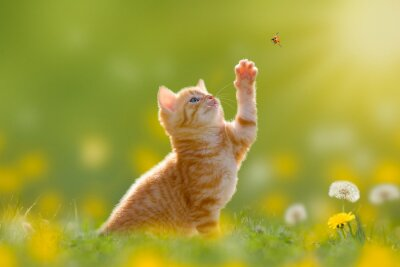 Canvastavlor Junge Katze / Kätzchen Jagd einen piga