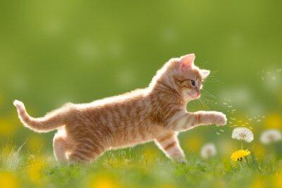 Canvastavlor Junge Katze spielt mit Pusteblume / Löwenzahn