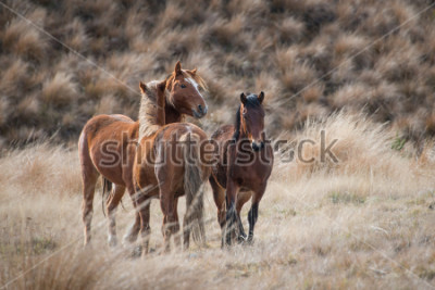Canvastavlor Kaimanawa vilda hästar med öron upp