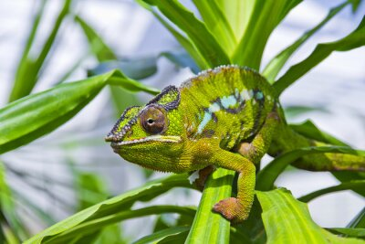 Canvastavlor Kameleont