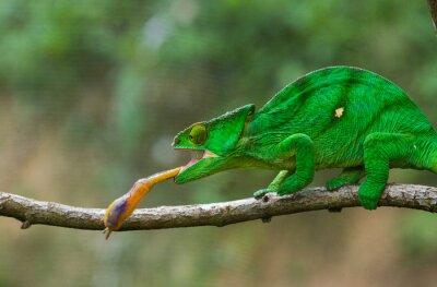 Canvastavlor Kameleont på jakt insekt. Lång tunga kameleont. Madagaskar. En utmärkt illustration. Närbild.