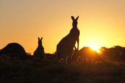 Canvastavlor Känguru silhuetter vid solnedgången
