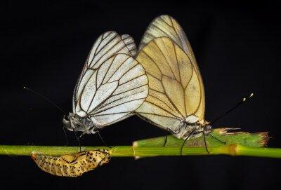 Canvastavlor Kelebekler
