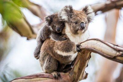 Canvastavlor koala