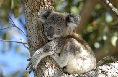 Canvastavlor koala i Port Stephens området, NSW, Australien.