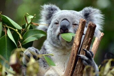 Canvastavlor Koala på Lone Pine Koala Sanctuary i Brisbane, Australien