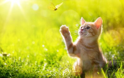 Canvastavlor konst Unga katt / kattunge jakt en fjäril med Motljus