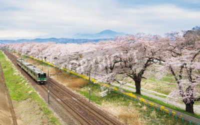 Canvastavlor Körsbärsblomningar eller Sakura och lokaltåg