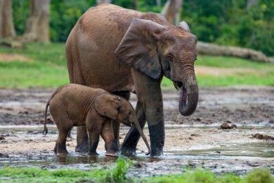 Canvastavlor Kvinnlig elefant med en baby. Centralafrikanska republiken. Republiken Kongo. Dzanga-Sangha. En utmärkt illustration.