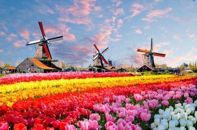 Canvastavlor Landskap med tulpaner, traditionella holländska väderkvarnar och hus nära kanalen i Zaanse Schans, Nederländerna, Europa