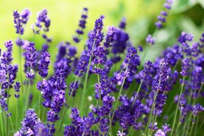 Canvastavlor lavendel
