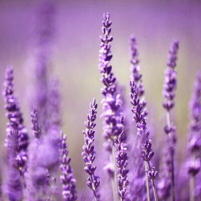 Canvastavlor lavendel blomma