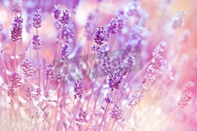Canvastavlor Lavendel blommor i blomsterträdgård
