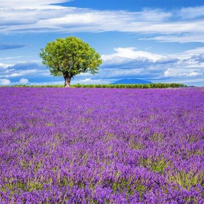 Canvastavlor Lavendel fält med träd