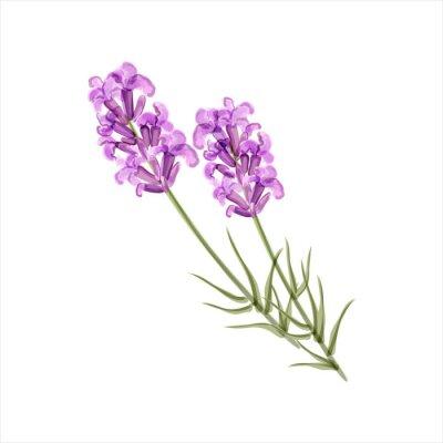 Canvastavlor Lavendel. Ört blomma. vektor