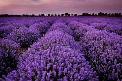 Canvastavlor Lavendelfält vid solnedgången