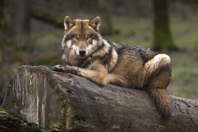 Canvastavlor Le Loup gris