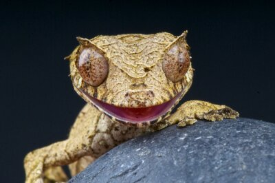 Canvastavlor Leaf-tailed gecko / uroplatus phantasticus