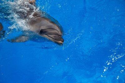 Canvastavlor Leende delfin. delfiner simma i poolen