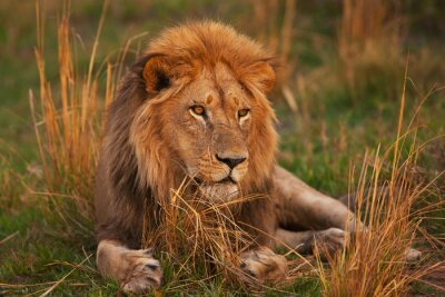 Canvastavlor lejon