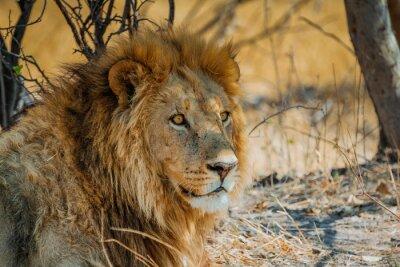 Canvastavlor lejon i Afrika