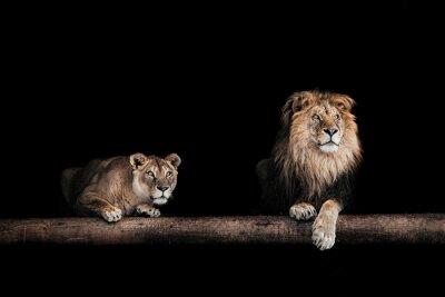 Canvastavlor Lejon och lejoninna, Porträtt av en vacker lejon, lejon i da