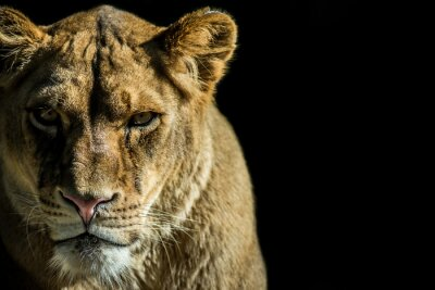 Canvastavlor Leone - lejon