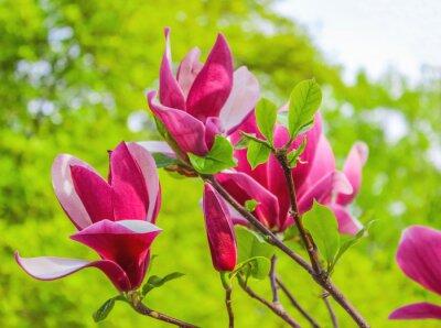 Canvastavlor Lila magnolia blomma på en gren bakgrund