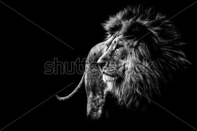 Canvastavlor lion in black and white