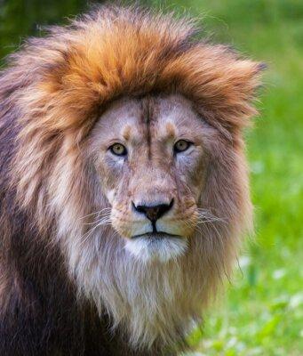 Canvastavlor Lionstående stående~~POS=HEADCOMP
